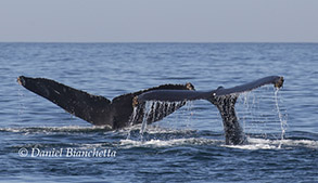Humpback Whale tails, photo by Daniel Bianchetta