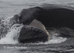 Lunge-feeding Humpback Whale with baleen showing, photo by Daniel Bianchetta