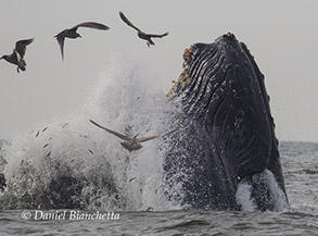 Lunge-feeding Humpback Whale, photo by Daniel Bianchetta