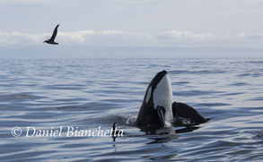 Male Killer Whale spyhopping, photo by Daniel Bianchetta