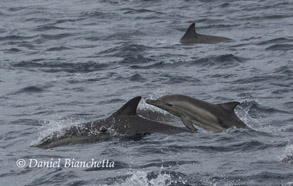 Mother and calf Long-beaked Common Dolphins, photo by Daniel Bianchetta