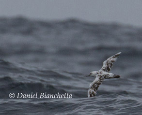 Partial Albinistic Black-vented Shearwater, photo by Daniel Bianchetta