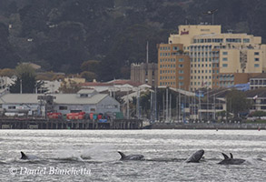 Risso's Dolphins close to harbor, photo by Daniel Bianchetta