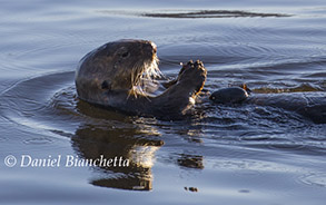 Sea Otter breaking clam on rock, photo by Daniel Bianchetta