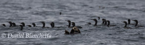Southern Sea Otter with Brandt's Cormorants, photo by Daniel Bianchetta