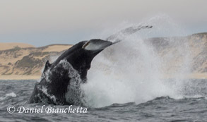 Tail throwing Humpback Whale, photo by Daniel Bianchetta