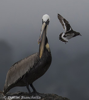 California Brown Pelican and Black Turnstone, photo by Daniel Bianchetta