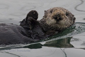 Female Southern Sea Otter, photo by Daniel Bianchetta