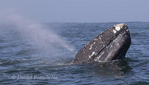 Gray Whale, photo by Daniel Bianchetta