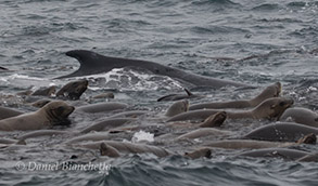 Humpback Whale feeding with California Sea Lions, photo by Daniel Bianchetta