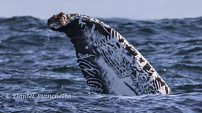 Humpback Whale 'fluke art', photo by Daniel Bianchetta