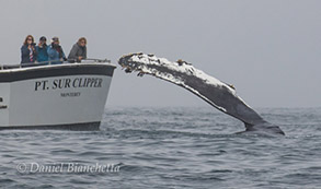 Humpback Whale pectoral fin by Pt. Sur Clipper, photo by Daniel Bianchetta