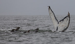 Humpback Whale tail and California Sea Lions, photo by Daniel Bianchetta