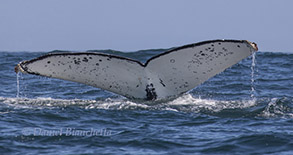 Humpback Whale Tail Photo ID, photo by Daniel Bianchetta