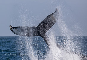 Humpback Whale tail-throwing, photo by Daniel Bianchetta