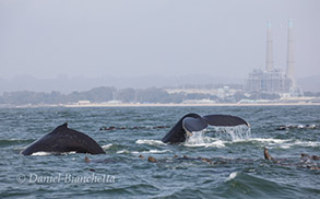Humpback Whales and California Sea Lions, photo by Daniel Bianchetta
