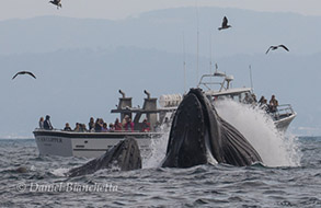 Humpback Whales lunge-feeding by Pt. Sur Clipper, photo by Daniel Bianchetta