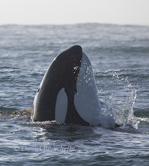 Killer Whale, photo by Daniel Bianchetta