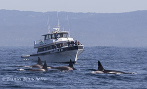 Killer Whales by the Sea Wolf II, photo by Daniel Bianchetta