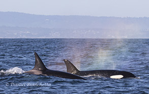 Killer Whales with rainblows, photo by Daniel Bianchetta