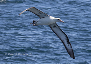 Laysan Albatross, photo by Daniel Bianchetta