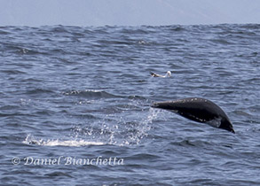 Northern Right Whale Dolphin, photo by Daniel Bianchetta