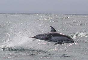 Pacific White-sided Dolphin, photo by Daniel Bianchetta