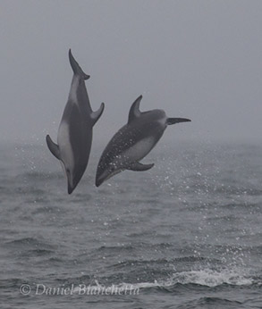 Pacific White-sided Dolphins Leaping, photo by Daniel Bianchetta