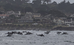 Pacific White-sided Dolphins running by Pacific Grove, photo by Daniel Bianchetta