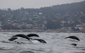 Running Northern Right Whale Dolphins by Pacific Grove, photo by Daniel Bianchetta