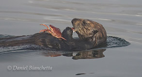 Sea Otter eating a crab, photo by Daniel Bianchetta