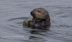 Sea Otter with clam, photo by Daniel Bianchetta
