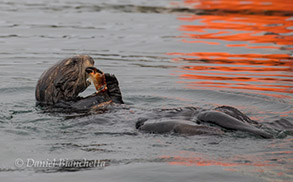 Southern Sea Otter eating Dungeness Crab, photo by Daniel Bianchetta