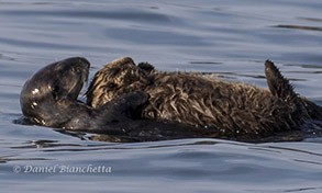 Southern Sea Otter mother and pup, photo by Daniel Bianchetta