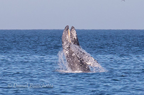 Gray Whale Breaching, photo by Daniel Bianchetta