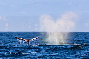Gray Whales with rainblow, photo by Daniel Bianchetta