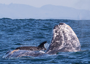 Gray Whales, Risso's Dolphin, photo by Daniel Bianchetta