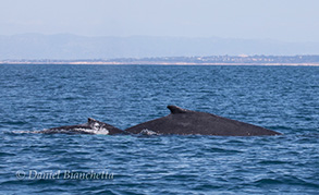 Humpback Whales cow and calf pair, photo by Daniel Bianchetta
