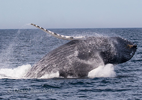 Humpback Whale, photo by Daniel Bianchetta