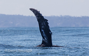 Humpback Whale's pectoral fin, photo by Daniel Bianchetta