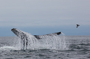 Humpback Whale tail and a Sooty Shearwater, photo by Daniel Bianchetta
