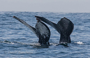 Humpback Whale Tails , photo by Daniel Bianchetta