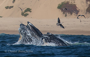 Humpback Whales Lunge Feeding near shore, photo by Daniel Bianchetta