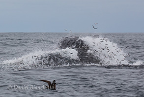 Lunge feeding Humpback Whale with Anchovies flying, photo by Daniel Bianchetta