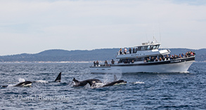 Killer Whales coming by the Sea Wolf, photo by Daniel Bianchetta