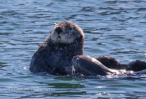 Southern Sea Otters, mom and pup, photo by Daniel Bianchetta