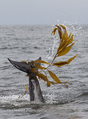 Risso's Dolphin playing with kelp, photo by Daniel Bianchetta