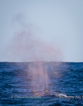 Gray Whale rain blow, photo by Daniel Bianchetta