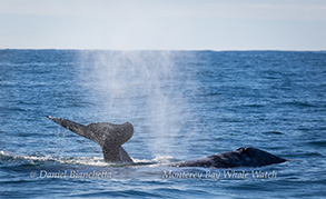 Gray whales, photo by Daniel Bianchetta