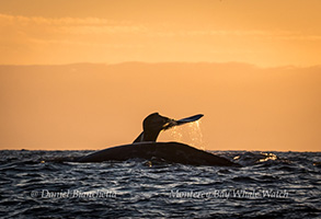 Gray Whales at sunset, photo by Daniel Bianchetta